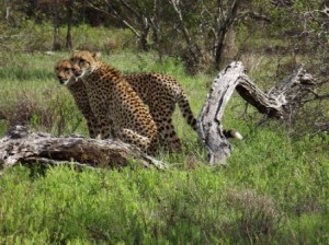 Female cheetah and her cub - Louis Liversage