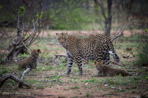 Thandi, the female leopard, and her cubs - Dawie Jacobs