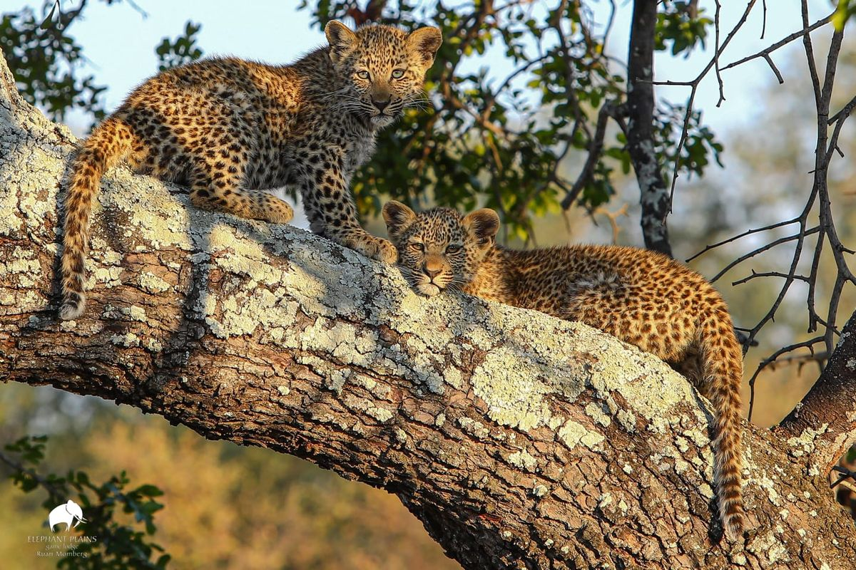Tiyani's two female leopard cubs by Ruan Momberg