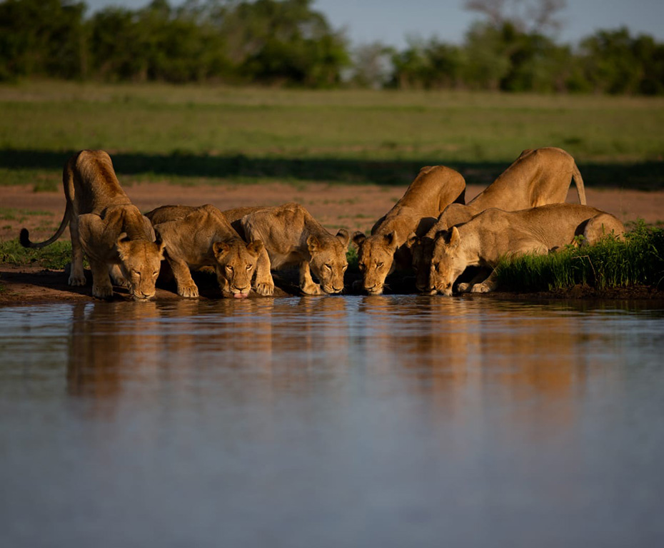 Lions drinking at watering hole